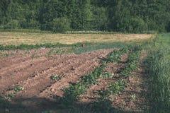 新近地培养的农业领域准备好生长- vintag 库存图片