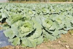 新近地增长的圆白菜领域 泰国 库存照片