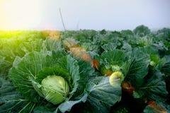 新近地增长的圆白菜领域 免版税图库摄影