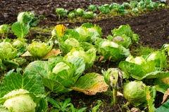 新近地增长的嫩卷心菜领域 免版税库存照片