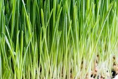 新近地增长的年轻wheatgrass细节  库存图片
