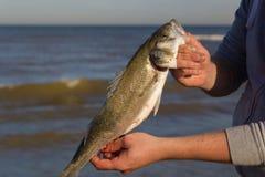 新近地捉住了欧洲鲈鱼 免版税库存照片