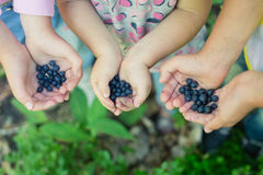 新近地摘的狂放的蓝莓在children's手上 免版税库存照片