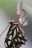 新近地被孵化的蝴蝶 库存图片