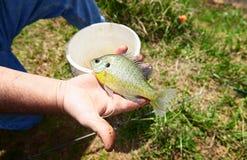 新近地被抓的小鱼在渔夫手上 免版税库存照片