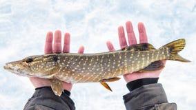 新近地被抓的矛鱼在手上,渔夫成功 渔夫钓鱼捕鱼漏洞冰冬天 库存照片