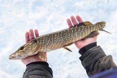 新近地被抓的矛鱼在手上,渔夫成功 渔夫钓鱼捕鱼漏洞冰冬天 图库摄影