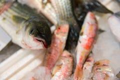 新近地被捉住的欧洲鲈鱼或Dicentrarchus在冰的Labrax特写镜头待售在希腊鱼市上 图库摄影