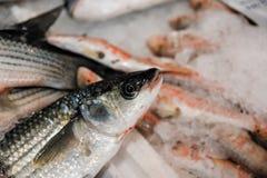 新近地被捉住的欧洲鲈鱼或Dicentrarchus在冰的Labrax特写镜头待售在希腊鱼市上 库存照片