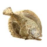 新近地被捉住的比目鱼Psetta最大值 免版税库存图片