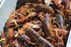 新近地被捉住的缅因龙虾 免版税库存照片