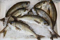 新近地被捉住的萨帕樽海鞘也叫dreamfish, salema、salema钉头鱼、母牛鲂或者goldline,从海鲷的种类在 库存照片