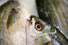 新近地被捉住的萨帕樽海鞘或Salema钉头鱼详细的特写镜头在白色盘子有冰的待售在希腊鱼市上 免版税库存图片