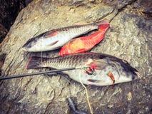 新近地被捉住的鱼鹦鹉 库存图片