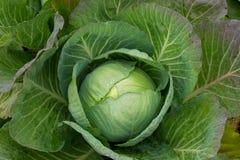 新近地被收获的圆白菜 免版税库存照片
