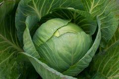 新近地被收获的圆白菜 免版税库存图片