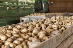新近地被收获的土豆和圆白菜 免版税库存图片