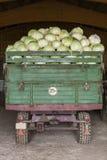 新近地被收获的土豆和圆白菜 库存照片