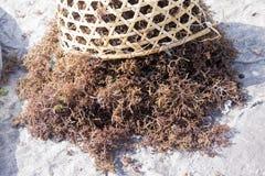 新近地被收获的海草,努沙Penida,印度尼西亚 免版税库存照片