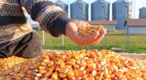 新近地被收获的玉米五谷 免版税图库摄影