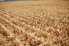 新近地被收获的玉米发茬行  库存照片