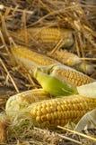 新近地被收获的玉米 库存照片