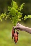 新近地被收获的红萝卜在妇女手上 免版税库存照片