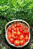 新近地被收获的蕃茄 库存图片