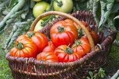新近地被收获的蕃茄 免版税库存图片