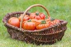 新近地被收获的蕃茄 库存照片