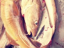新近地被杀死的鳕鱼到有一点的一个塑料盒里血淋淋的水 排泄鱼 免版税库存照片