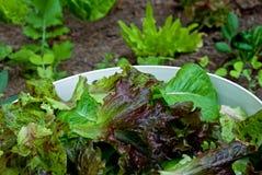 新近地被种植的在家被采摘的沙拉 免版税库存图片