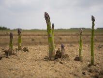 新近地被种植的芦笋 库存照片