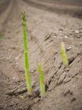 新近地被种植的芦笋 免版税库存图片