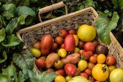新近地被采摘的五颜六色的有机婴孩蕃茄篮子  免版税库存图片