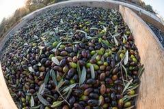 新近地被采摘的橄榄,卡塔龙尼亚,西班牙 免版税库存图片