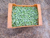 新近地被采摘的橄榄 图库摄影