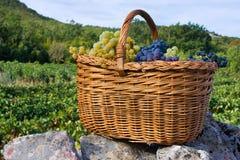 新近地被采摘的葡萄篮子  免版税图库摄影