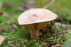 新近地被采摘的蘑菇 免版税库存照片