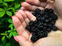 新近地被采摘的黑莓 免版税库存图片