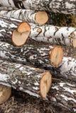新近地被锯的桦树注册森林 免版税库存图片