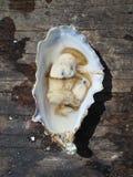 新近地被去外皮的牡蛎 免版税库存图片