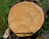 新近地裁减一棵年轻杉树的树干 免版税图库摄影