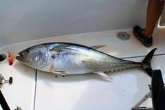 新近钓鱼的巨大的金枪鱼 库存照片