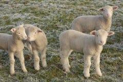 新逗人喜爱的羊羔 免版税库存照片