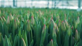 新郁金香头,增长的植物在玻璃温室 股票视频