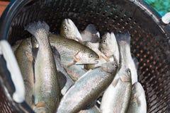新钓鱼的鳟鱼准备 免版税库存照片