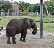 新非洲大象 库存图片