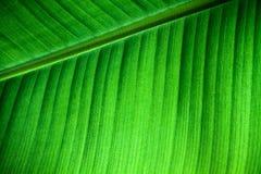新香蕉叶子结构细节的由后面照的关闭与叶主脉对角线的对框架和可看见的叶子静脉和凹线 库存图片