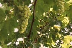 新鲜和成熟葡萄和绿色叶子分支  免版税库存图片